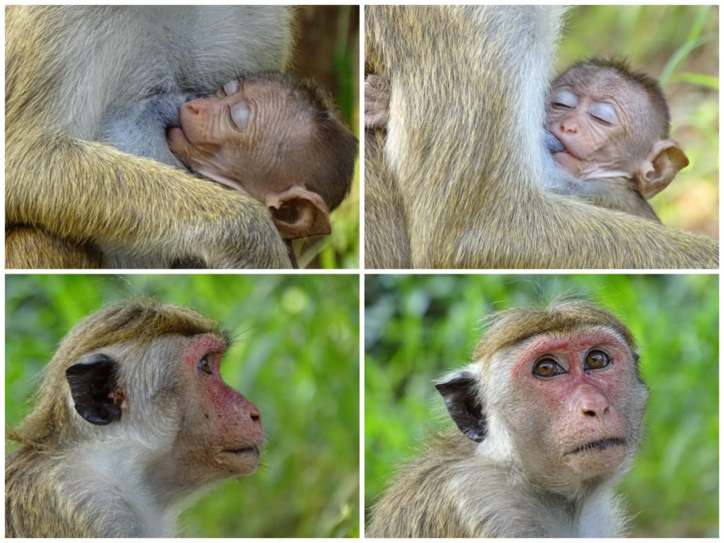 Apor på Sri Lanka