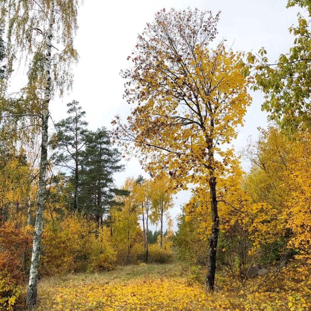 Lönnträdet